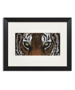 Focus the Tiger Eye - Maree Davidson Art